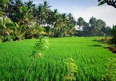 Rice Padi. Vast and wide rice padi field in Bali Royalty Free Stock Image