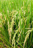 Rice Padi. Field ready for harvest Royalty Free Stock Images