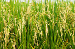 Rice Padi Royalty Free Stock Photo