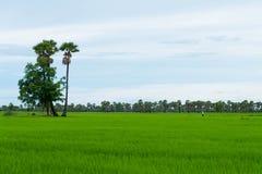 Rice palmyra w porze deszczowa przy Phetchaburi provinnce i pole, Zdjęcie Royalty Free