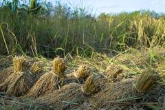 Rice pants Rice paddy.ears of corn  bind. Stock Photos