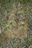 Rice pants Rice paddy.ears of corn  bind. Royalty Free Stock Photo