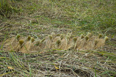 Rice pants Rice paddy.ears of corn  bind. Stock Photography