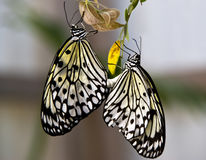 Rice paper butterflies mating (Idea leucone). Butterflies (Idea leucone) hanging from tree leaves and mating Stock Photography