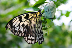 Rice Paper Butterfly. A rice paper butterly feeding on berries Stock Images