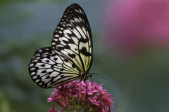 Rice Paper Butterfly. A Rice Paper Butterfly is slurping nectar from the flower Stock Images