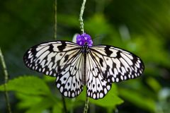 Rice Paper Butterfly. Butterfly sitting on a leaf royalty free stock images
