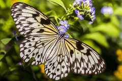 Rice Paper Butterfly Beauty Stock Photo