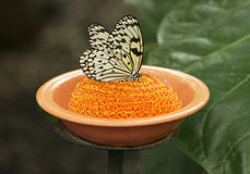Rice paper butterfly eating from dish. In butterfly habitat in Houston, Texas Royalty Free Stock Photos