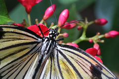 Rice Paper Butterfly Eating Nectar Stock Image