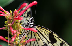 Rice Paper Butterfly Stock Photography
