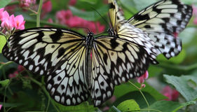 Rice Paper butterfly (Idea leuconoe) Stock Images