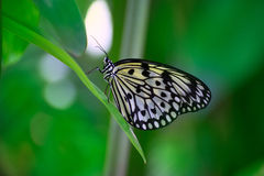 Rice Paper butterfly Idea leuconoe in green leaf Stock Image