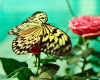 Rice Paper butterfly (Idea leuconoe) on rose Royalty Free Stock Photo