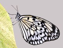 Rice Paper butterfly on a leaf Stock Photos