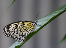 Rice Paper butterfly on a leaf-Stock Photos royalty free stock photos