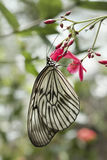 Rice Paper butterfly, Paper Kite, Idea leuconoe Royalty Free Stock Images