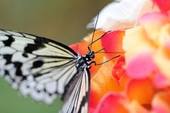 Rice Paper Butterfly Stock Photo