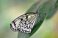 Rice Paper Butterfly with water drop. Image shows a black and white Rice Paper Butterfly sitting on a tropical flower with water drop. Background is light green Royalty Free Stock Photo