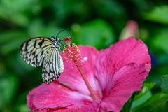 Rice paper or paper kite butterfly perching on a pink hibiscus flower stock photo