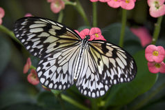 Rice paperKite Butterfly Pink Flowers Royalty Free Stock Photography