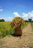 Rice papoose on the paddy field. Sheat of corn put in papoose, and let on the way among ricefield Stock Photos