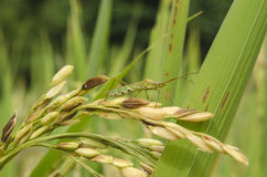 Rice pests. West Java - Indonesia royalty free stock image
