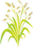 Rice plant. Illustration of rice plant isolated in white background Stock Images