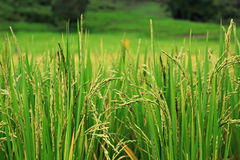 Rice plant. In rice field Stock Photos