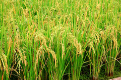 Rice plant Stock Photo