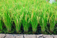 Rice plant Stock Photography
