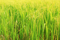 Rice plant Royalty Free Stock Images