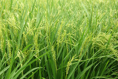 Rice plant Royalty Free Stock Photos