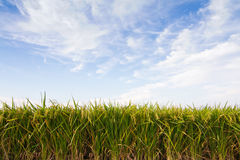 Rice plant against blue sky Royalty Free Stock Photography