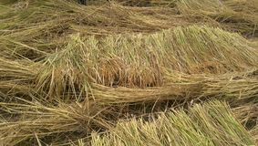 Rice plant background Royalty Free Stock Photography