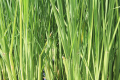Rice plant Stock Images
