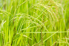 Rice plant. Stock Photo