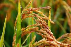 Rice plant closeup. Ripe carnaroli risotto rice. Rice plant and ripe grains or seed. Carnaroli Italian risotto rice Royalty Free Stock Photo