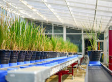 Rice Plant on conveyor belt Stock Photography