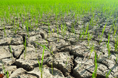 Rice plant  on crack soil Royalty Free Stock Images