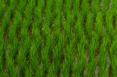 Rice plant cultivation. In bali indonesia stock photo