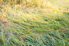 Rice plant falling down Royalty Free Stock Image