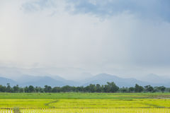 Rice plant farmers planting rice. Rice plant growing Stock Photos