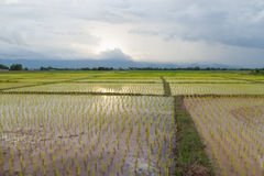 Rice plant farmers planting rice. Rice plant growing Stock Photo
