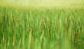 Rice plant rice field. Rice plant in the rice field Stock Image