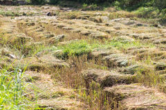 Rice plant Royalty Free Stock Photography