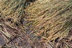 Rice plant Royalty Free Stock Photos