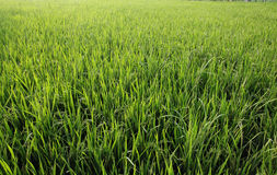 Rice plant in the field Royalty Free Stock Images