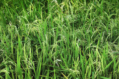 Rice plant in the field Stock Image