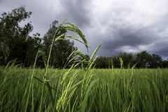 Rice plant. A rice field before rain Stock Photography